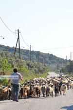 Geiten op Skyros | Skyros Griekenland foto 4 - Foto van De Griekse Gids