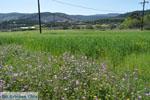 Bloemen op Skyros | Skyros Griekenland foto12 - Foto van De Griekse Gids