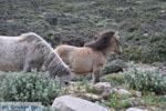 Wilde dwergpaarden in het zuiden van Skyros | foto 2 - Foto van De Griekse Gids