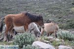 Wilde dwergpaarden in het zuiden van Skyros | foto 3 - Foto van De Griekse Gids