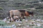 Wilde dwergpaarden in het zuiden van Skyros | foto 4 - Foto van De Griekse Gids