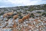Schapen in het zuiden van Skyros | foto 5 - Foto van De Griekse Gids
