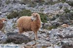 Schapen in het zuiden van Skyros | foto 6 - Foto van De Griekse Gids