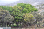 Skyriaanse bomen | Zuid-Skyros - Foto van De Griekse Gids