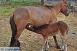 Dwergpaard met veulen | Skyros Griekenland - Foto van De Griekse Gids