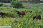 Wilde dwergpaarden Skyros | Griekenland | De Griekse Gids foto 1 - Foto van De Griekse Gids