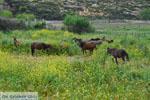 Wilde dwergpaarden Skyros | Griekenland | De Griekse Gids foto 2 - Foto van De Griekse Gids