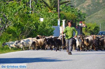 Jonge herder met zijn geiten | Skyros | Griekenland - Foto van https://www.grieksegids.nl/fotos/skyros/normaal/skyros-grieksegids-016.jpg
