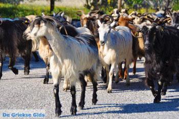 Geiten op Skyros | Skyros Griekenland foto 1 - Foto van https://www.grieksegids.nl/fotos/skyros/normaal/skyros-grieksegids-017.jpg
