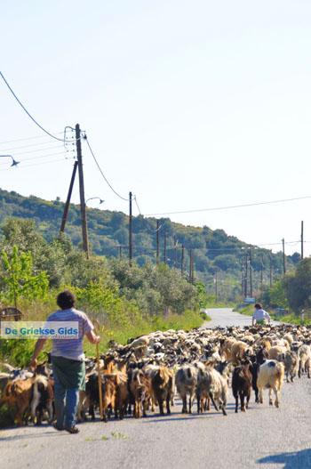 Geiten op Skyros | Skyros Griekenland foto 4 - Foto van https://www.grieksegids.nl/fotos/skyros/normaal/skyros-grieksegids-020.jpg