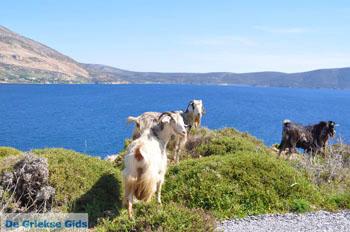 Geiten bij Kalamitsa | Skyros Griekenland foto 1 - Foto van De Griekse Gids