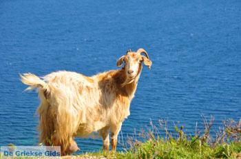 Geiten bij Kalamitsa | Skyros Griekenland foto 2 - Foto van https://www.grieksegids.nl/fotos/skyros/normaal/skyros-grieksegids-201.jpg
