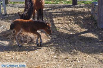 Dwergpaard Skyros | Griekenland foto 2 - Foto van https://www.grieksegids.nl/fotos/skyros/normaal/skyros-grieksegids-219.jpg