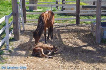 Dwergpaard Skyros | Griekenland foto 3 - Foto van https://www.grieksegids.nl/fotos/skyros/normaal/skyros-grieksegids-220.jpg