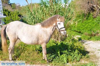 Dwergpaard Skyros | Griekenland foto 4 - Foto van https://www.grieksegids.nl/fotos/skyros/normaal/skyros-grieksegids-224.jpg