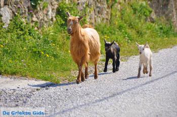 Geitjes op Skyros | Binnenland Skyros - Foto van https://www.grieksegids.nl/fotos/skyros/normaal/skyros-grieksegids-259.jpg