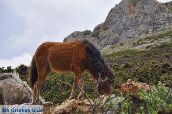 Wilde dwergpaarden in het zuiden van Skyros | foto 1 - Foto van https://www.grieksegids.nl/fotos/skyros/normaal/skyros-grieksegids-309.jpg