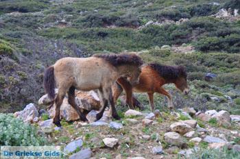 Wilde dwergpaarden in het zuiden van Skyros | foto 4 - Foto van https://www.grieksegids.nl/fotos/skyros/normaal/skyros-grieksegids-312.jpg