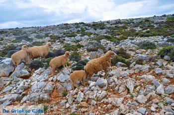Schapen in het zuiden van Skyros | foto 5 - Foto van https://www.grieksegids.nl/fotos/skyros/normaal/skyros-grieksegids-313.jpg
