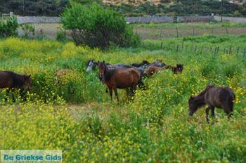 Wilde dwergpaarden Skyros | Griekenland | De Griekse Gids foto 1 - Foto van https://www.grieksegids.nl/fotos/skyros/normaal/skyros-grieksegids-349.jpg