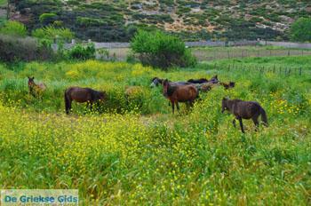 Wilde dwergpaarden Skyros | Griekenland | De Griekse Gids foto 2 - Foto van https://www.grieksegids.nl/fotos/skyros/normaal/skyros-grieksegids-350.jpg
