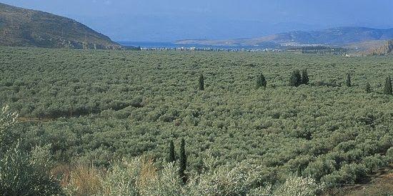 Olijven bomen