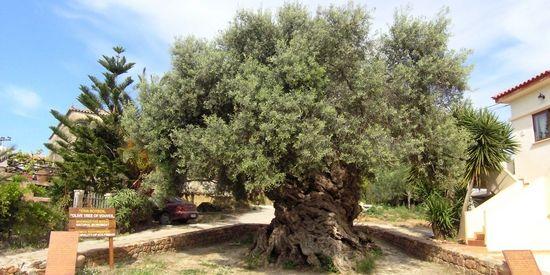 Olijfboom van Vouves