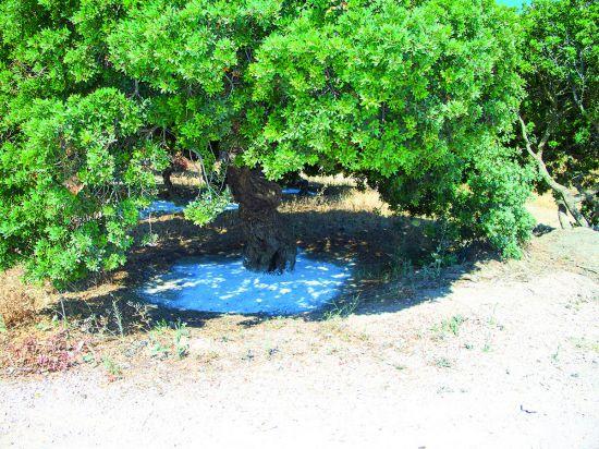 Mastiekboom op Chios