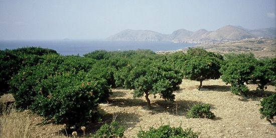 Mastiekbomen Chios