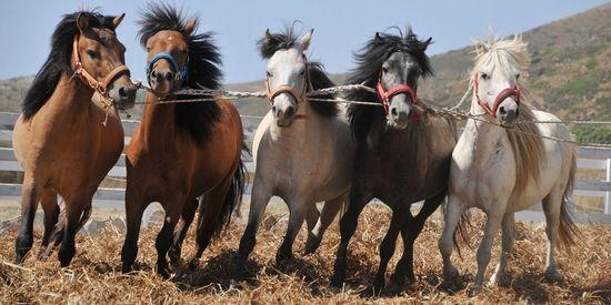 Skyriaanse paarden aan het werk op Mouries farm