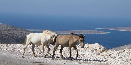 Wilde Skyriaanse paarden op de weg