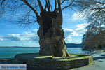 Plataan op het schiereiland in het meer van Kastoria | Macedonie Griekenland - Foto van De Griekse Gids
