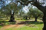 Olijfbomen Agalas Zakynthos - Foto Dionysios Margaris 9 - Foto van Dionysios Margaris