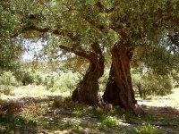 Door ouderdom splitste deze olijfboom zich in tweeën.